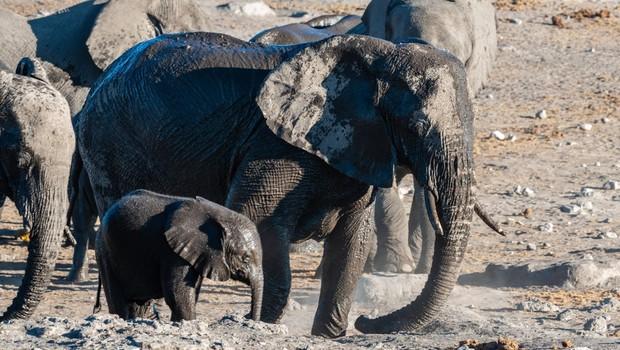 Poginilo šest slonov, medtem ko so skušali pomagati slonjemu mladiču! (foto: profimedia)