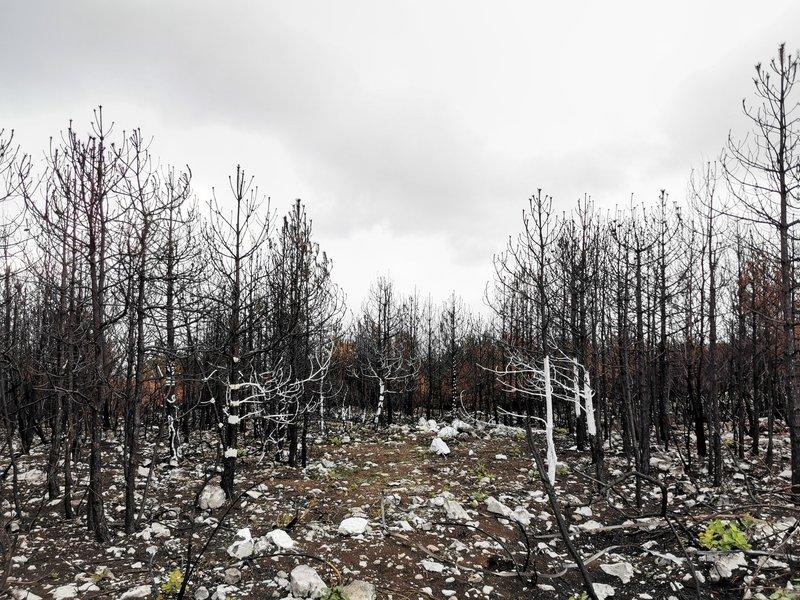 Požgana drevesa na Cerju