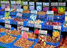 Prevarantski prodajalci tulipanov opeharijo na milijone turistov v Amsterdamu