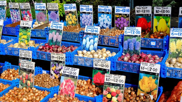 Prevarantski prodajalci tulipanov opeharijo na milijone turistov v Amsterdamu (foto: profimedia)