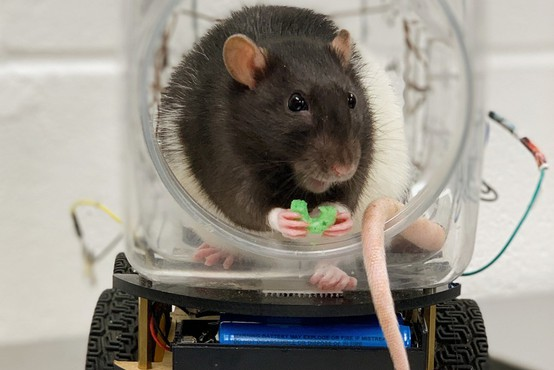 S študijami na podganah do novih načinov zdravjenja duševnih bolezni