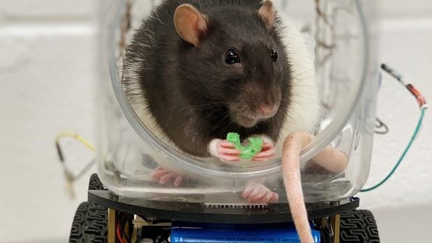 S študijami na podganah do novih načinov zdravjenja duševnih bolezni (foto: profimedia)