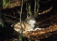 Po 165 medvedih in petih volkovih lovci na sledi za odstrel še desetim volkovom