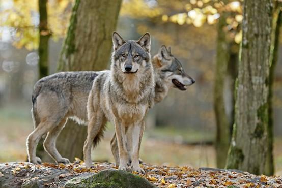 """""""Pričakujemo, da populacije volkov in medvedov ne bomo več reševali s političnimi pritiski!"""""""