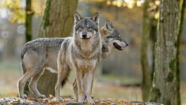 """""""Pričakujemo, da populacije volkov in medvedov ne bomo več reševali s političnimi pritiski!"""" (foto: profimedia)"""