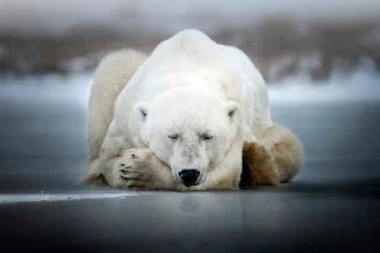Več kot 50 severnih medvedov pritavalo v rusko vas
