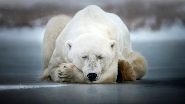 Več kot 50 severnih medvedov pritavalo v rusko vas (foto: profimedia)