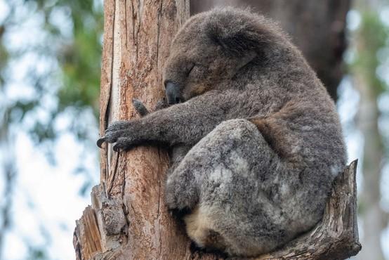 V Avstraliji poginilo več kot 2000 koal, zaradi požarov je ogroženo preživetje vrste