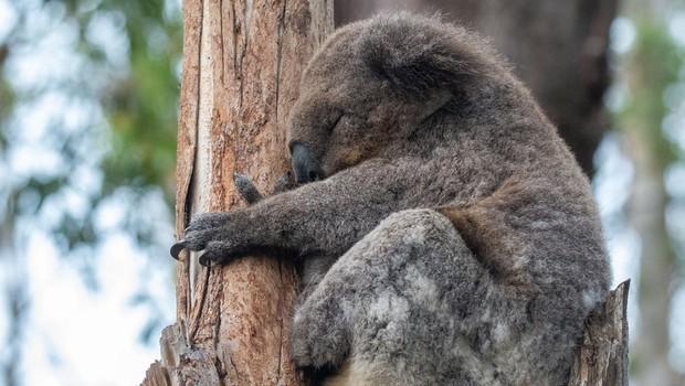 V Avstraliji poginilo več kot 2000 koal, zaradi požarov je ogroženo preživetje vrste (foto: profimedia)