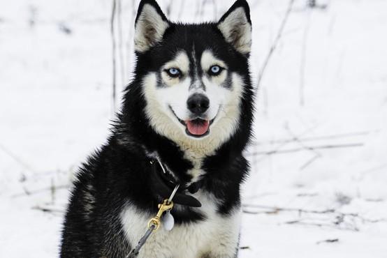 Nova spoznanja o evoluciji volkov in udomačevanja psov