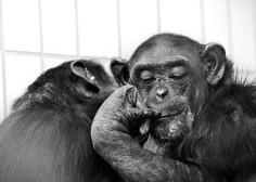 Šimpanzi se ritmično odzivajo na glasbo, pravijo japonski znanstveniki