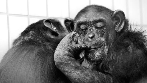 Šimpanzi se ritmično odzivajo na glasbo, pravijo japonski znanstveniki (foto: profimedia)