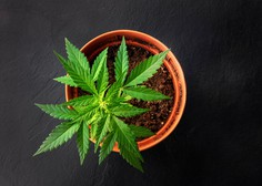 V Italiji gojenje marihuane za osebno rabo ni več kaznivo