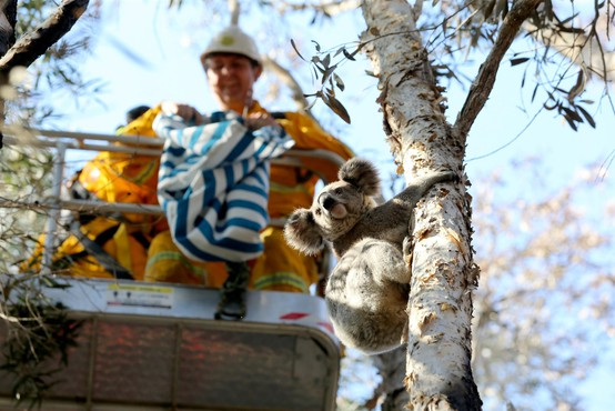 Sredi peklenske vročine v Avstraliji žejna koala ustavila kolesarje