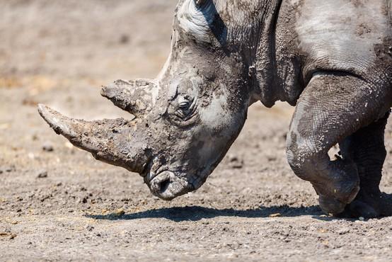 V Tanzaniji poginil najstarejši črni nosorog na svetu