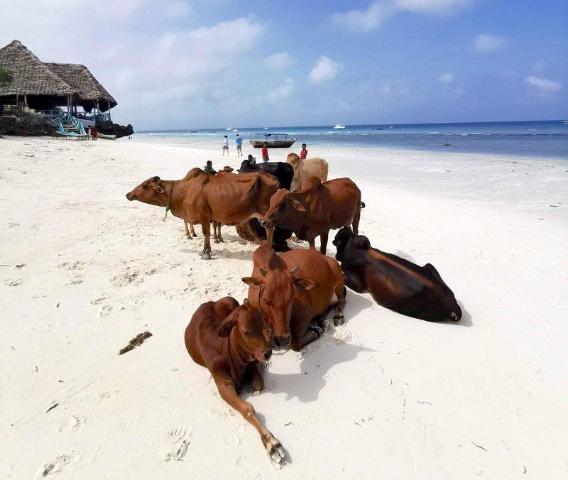 Krave na plaži Nungwi