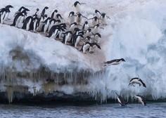Kolonije pingvinov na Antarktiki se drastično zmanjšujejo