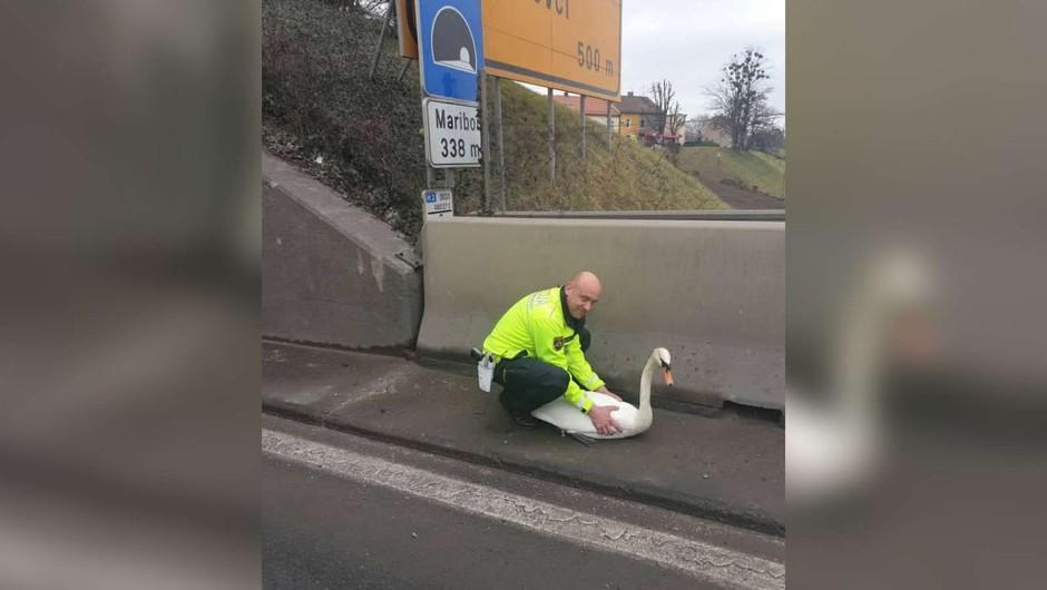Tako so mariborski policisti reševali laboda s cest (foto: PU Maribor)