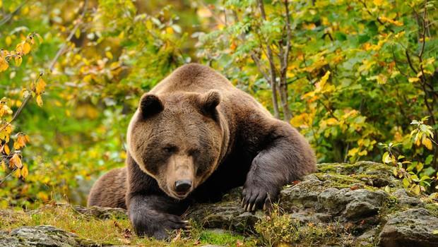 Ostro nasprotovanje odstrelu medvedov in volkov (foto: profimedia)