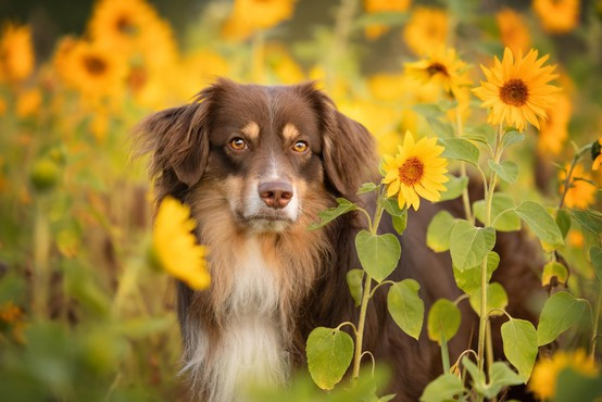 Britanci bodo izurili pse za diagnosticiranje covida-19