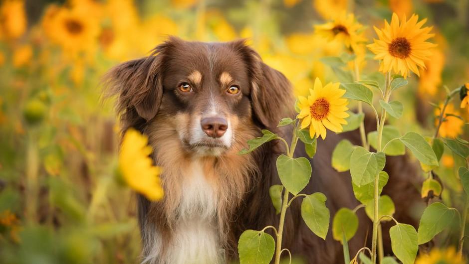 Britanci bodo izurili pse za diagnosticiranje covida-19 (foto: profimedia)