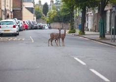 Divje živali zavzemajo prazne ulice mest