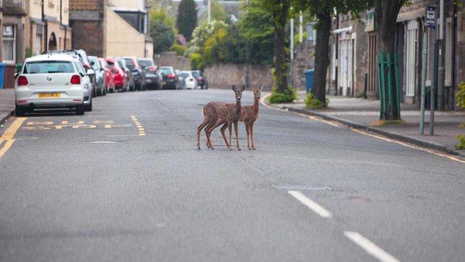 Divje živali zavzemajo prazne ulice mest (foto: profimedia)