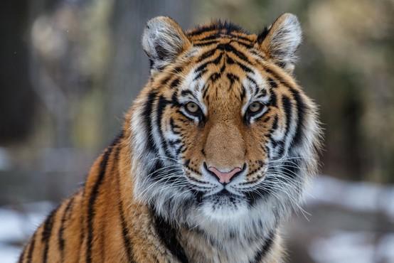 V živalskem vrtu v New Yorku z izjemno nalezljivim koronavirusom okužen tiger