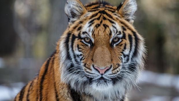 V živalskem vrtu v New Yorku z izjemno nalezljivim koronavirusom okužen tiger (foto: profimedia)