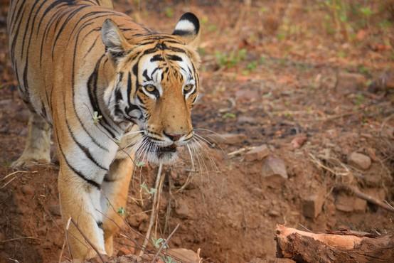 V Nepalu tiger opažen na 2500 metrih nadmorske višine