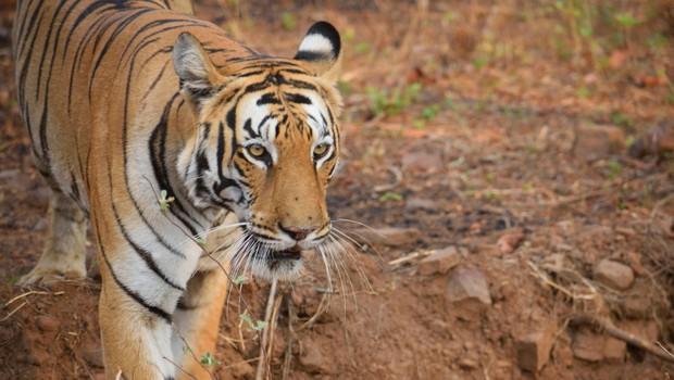 V Nepalu tiger opažen na 2500 metrih nadmorske višine (foto: Profimedia)
