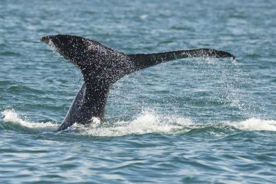 V Dalmaciji blizu Šibenika so v morju opazili več kitov