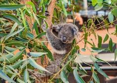 V požaru poškodovano koalo že odpustili iz avstralske bolnišnice