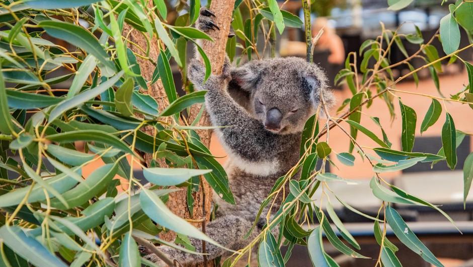 V požaru poškodovano koalo že odpustili iz avstralske bolnišnice (foto: Profimedia)