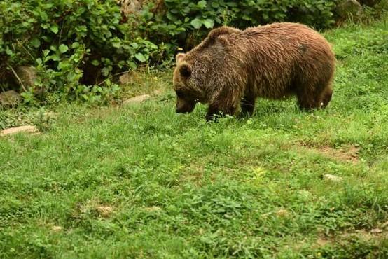 V italijanskih Alpah se je v past ujel pobegli medved slovenskega porekla