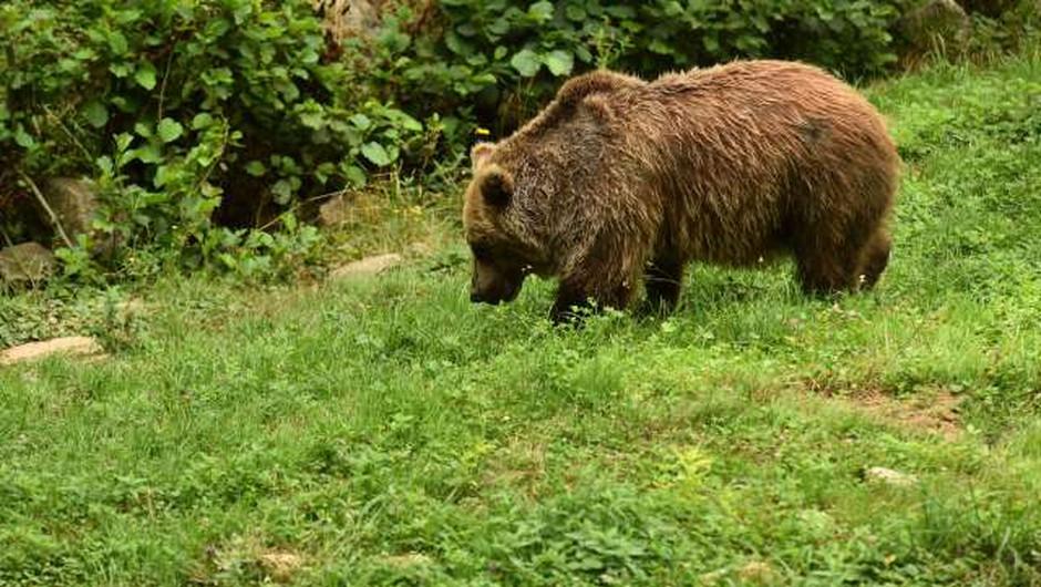 V italijanskih Alpah se je v past ujel pobegli medved slovenskega porekla (foto: Tamino Petelinšek/STA)