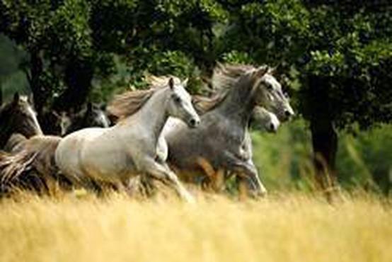 S 1. majem kobilarna Lipica odpira svoja vrata
