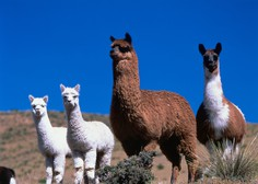 Proti koronavirusu bi lahko pomagala protitelesa iz lame