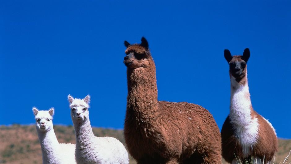 Proti koronavirusu bi lahko pomagala protitelesa iz lame (foto: Profimedia)