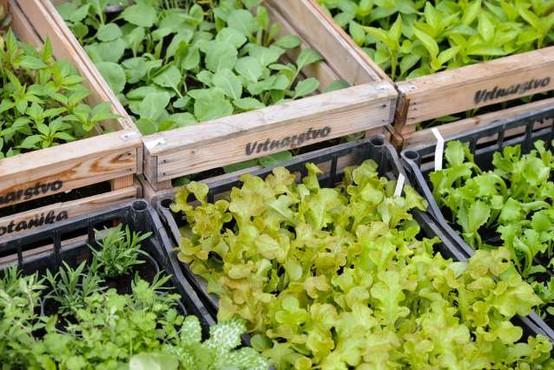 Po pomanjkanju zelenjave, sedaj viški solate na slovenskem trgu