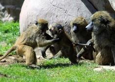 Opice po okužbi in cepljenju razvile odpornost na koronavirus