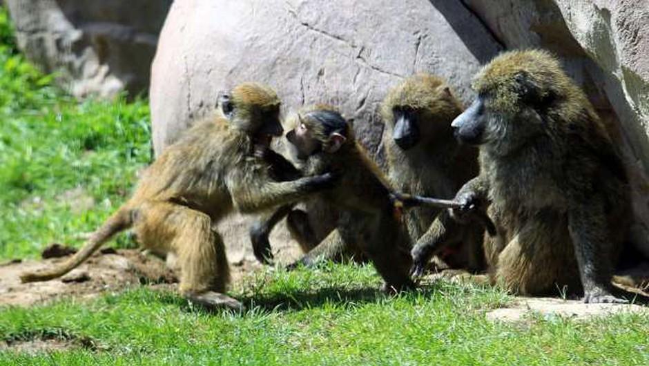 Opice po okužbi in cepljenju razvile odpornost na koronavirus (foto: Xinhua/STA)