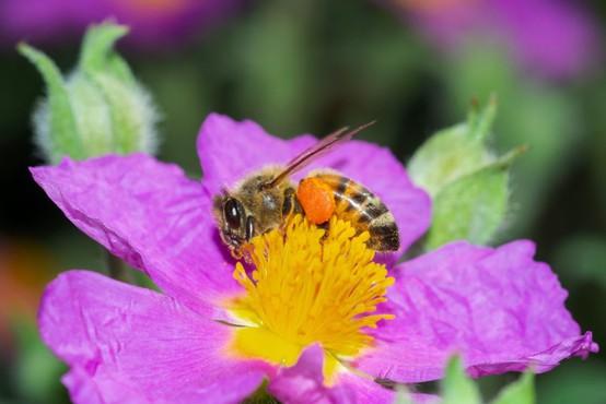 Albanske čebele ob koronavirusu oživele in obetajo bogato letino