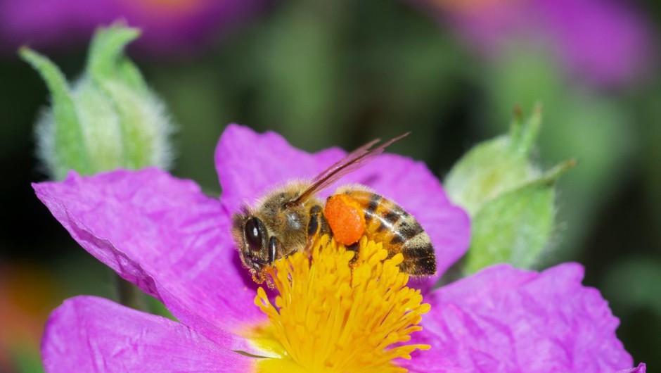 Albanske čebele ob koronavirusu oživele in obetajo bogato letino (foto: profimedia)