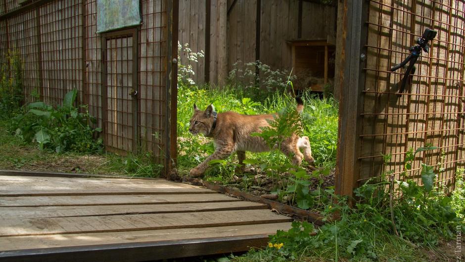 Na območju Loškega Potoka izpustili še enega risa (foto: Life Lynx)
