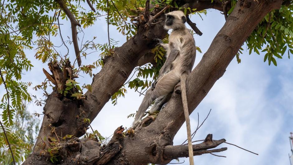 Scenarij kot iz Planeta opic: v Indiji opice iz laboratorija ukradle covid vzorce (foto: profimedia)