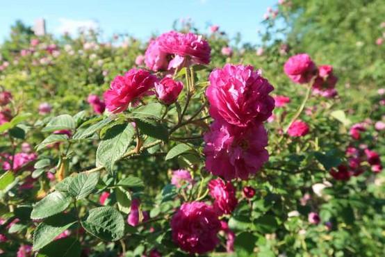 Na Krasu gojijo vrtnice za destilacijo in uporabo v kozmetiki