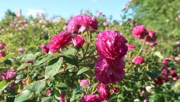 Na Krasu gojijo vrtnice za destilacijo in uporabo v kozmetiki (foto: Rosana Rijavec/STA)