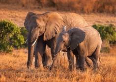 Več sto slonov v Bocvani skrivnostno poginilo
