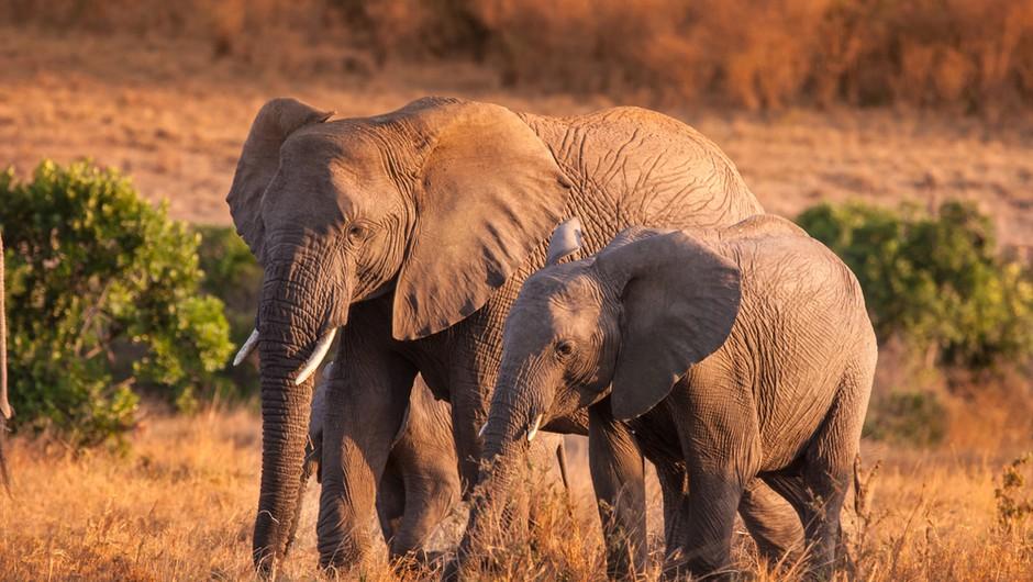 Več sto slonov v Bocvani skrivnostno poginilo (foto: Shutterstock)